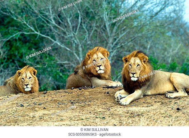 African Lions Panthera Leo wild adult males Phinda Reserve, South Africa