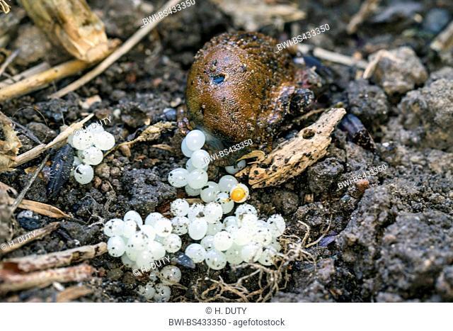 Spanish slug, Lusitanian slug (Arion lusitanicus, Arion vulgaris), lays eggs, Germany, Mecklenburg-Western Pomerania