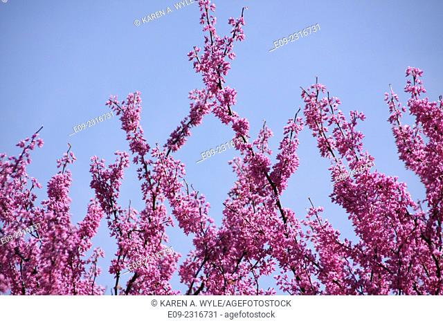 redbud branches reaching into blue sky, Monroe County, IN