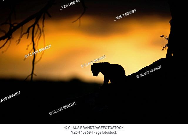 Silhouette of a young male leopard Panthera pardus at sunrise in Kgalagadi Transfrontier Park. Kalahari, South Africa