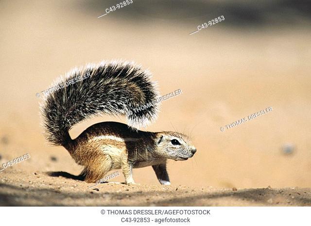 Cape Ground Squirrel (Xerus inauris), female. Kalahari-Gemsbok National Park, South Africa