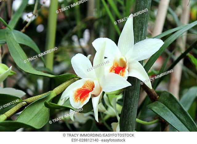 Close up of a white orchid with an orange speckled lip growing amongs bamboo trees