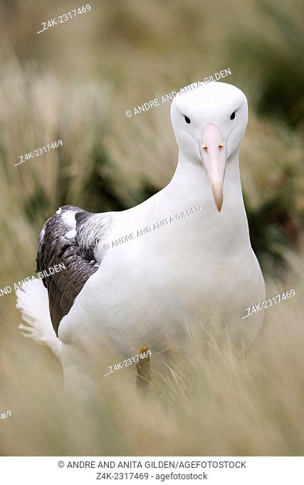 Southern Royal Albatross (Diomedea epomophora) resting in grass looking at the camera, sub-antarctic Campbell island, New Zealand