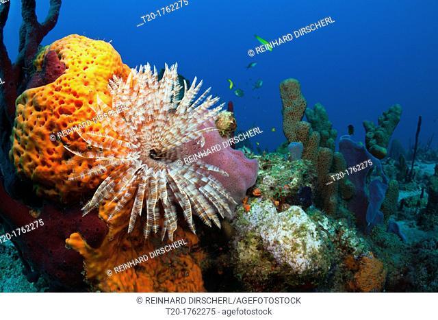 Caribbean Coral Reef, Caribbean Sea, Dominica