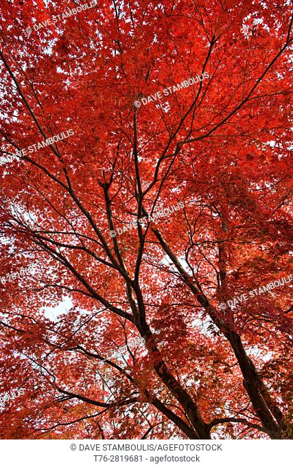 maple leaves in full color, Kyoto, Japan