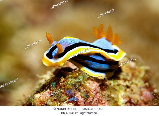 Chromodoris annae (Chromodoris annae), nudibranch, Great Barrier Reef, Queensland, Cairns, Pacific Ocean, Australia