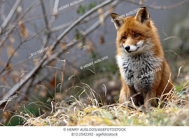 Red Fox Vulpes vulpes, France