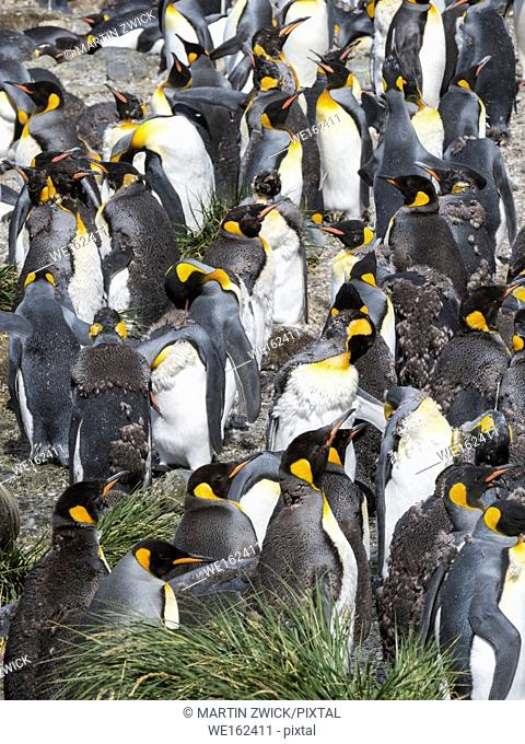 King Penguin (Aptenodytes patagonicus) on the island of South Georgia, the rookery in Gold Harbour. Adults moulting. Antarctica, Subantarctica, South Georgia