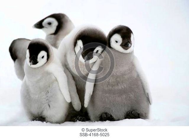 antarctica, weddell sea, snow hill island, emperor penguins aptenodytes forsteri, chicks