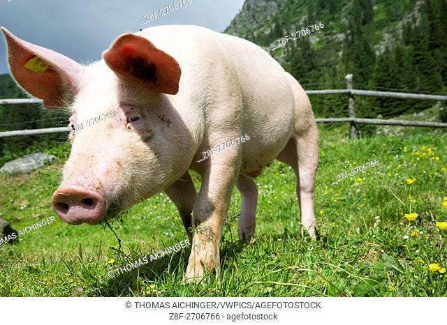Sus scrofa domesticaDomestic pig