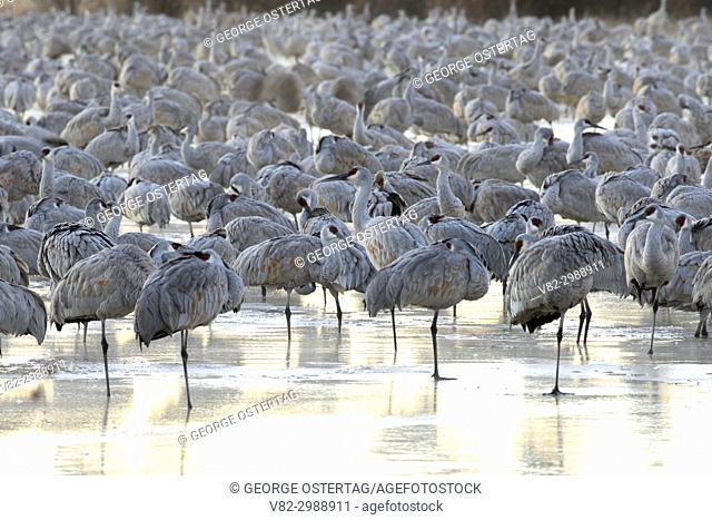 Sandhill crane on pond, Bernardo Wildlife Management Area, New Mexico