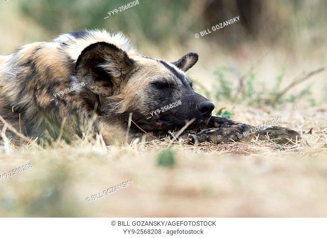 African wild dog (Lycaon pictus) - Africat - Okonjima Nature Reserve, Namibia, Africa