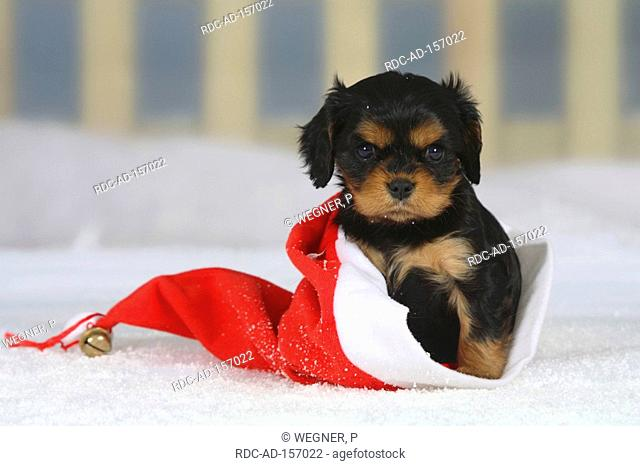 Cavalier King Charles Spaniel puppy black-and-tan 6 weeks in christmas cap