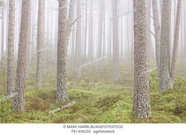 Pine forest in mist  Abernethy Forest, Highland, Scotland  UK  September 2006