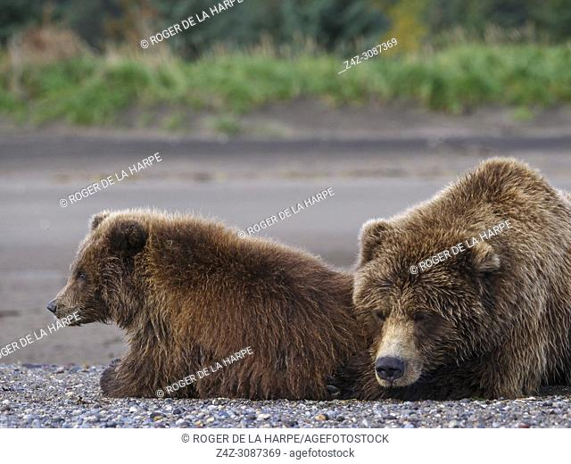 Coastal brown bear, also known as Grizzly Bear (Ursus Arctos) female and cub. South Central Alaska. United States of America (USA)