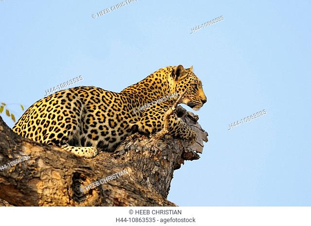 Leopard, Panthera pardus, Ulusaba Sir Richard Branson's Private Game Reserve, Sabi Sands Game Reserve, Mpumalanga, South Africa, tree, cat, lying