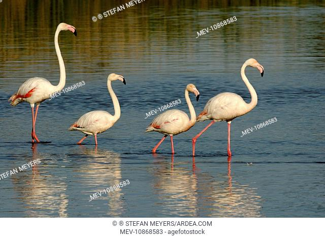 Greater Flamingoes (Phoenicopterus ruber). Camargue - France