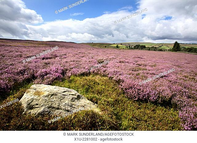 Rock and Heather on Nought Moor near Pateley Bridge Nidderdale Yorkshire England