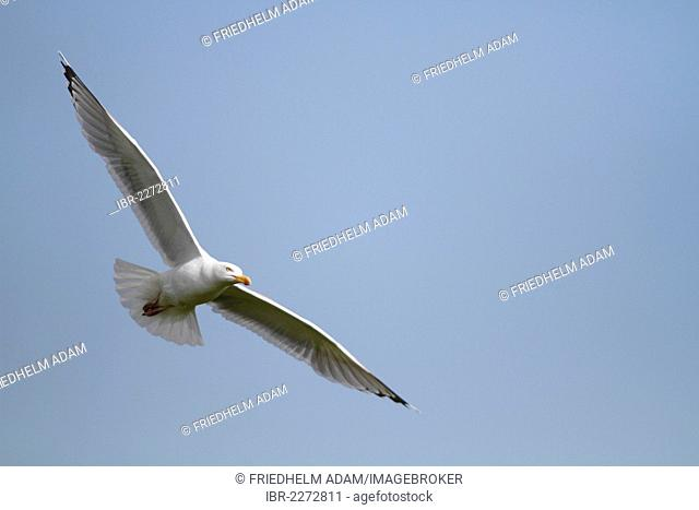European herring gull (Larus argentatus) in flight, Neuwerk island near Cuxhaven, Hamburg Wadden Sea, Germany, Europe