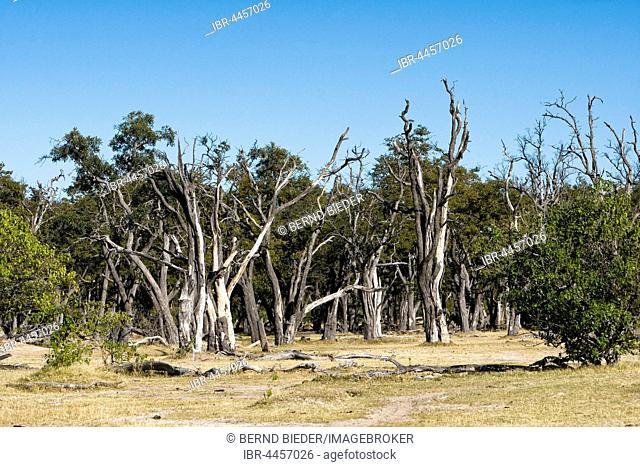 Dead trees, Moremi National Park, Botswana