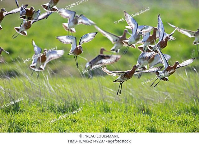 France, Vendee, La Barre de Monts, Black-tailed Godwit, (Limosa limosa)