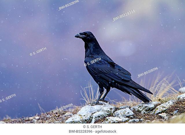 common raven (Corvus corax), sitting on the ground during snowfall, Bulgaria, Sredna Gora, Sliven