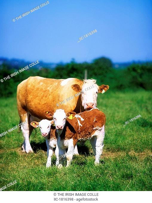 Charolais Cattle, Suckler and calves