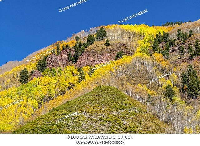 Aspen trees in autumn color. Maroon Bells. Aspen. Colorado. USA