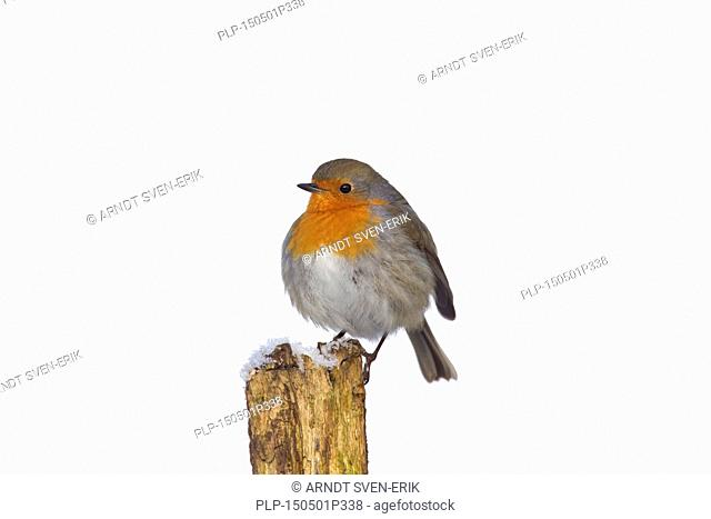 European robin (Erithacus rubecula) perched on fence post with fluffed up feathers in the cold in winter