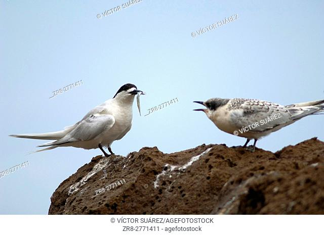 White-fronted terns (Sterna striata). Adult with a fish and juvenile. Cape Kidnappers Gannet Reserve. North Island. New Zealand