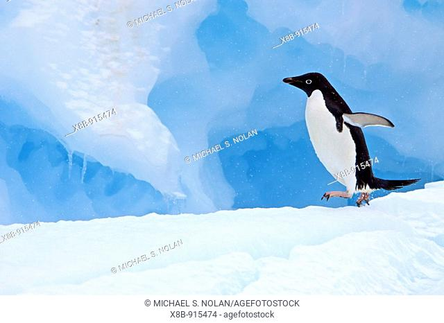 Adult Adelie penguin Pygoscelis adeliae on iceberg near the Antarctic Peninsula, Antarctica  The Adélie Penguin is a type of penguin common along the entire...