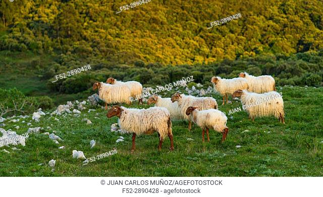 Sheep, Liendo Valley, Montaña Oriental Costera, Cantabrian Sea, Cantabria, Spain, Europe