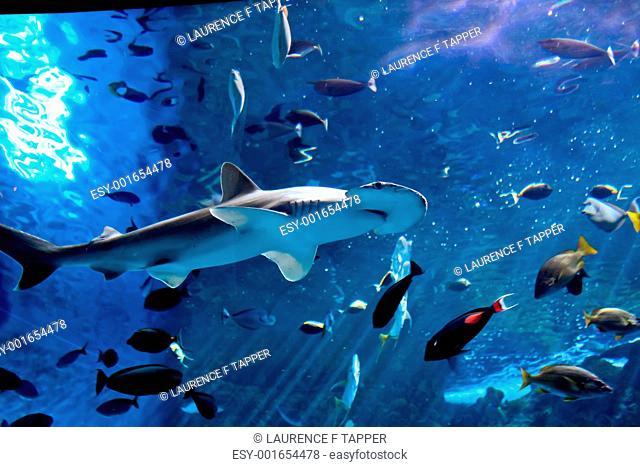 Hammerhead / bonnethead shark