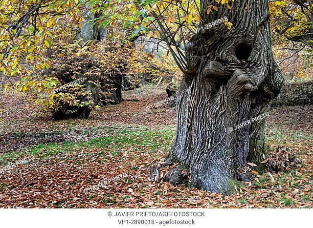Old chestnut trees next to the cemetery of Cariseda. Valley of Fornela. The Ancares. Province of León. Castilla y León