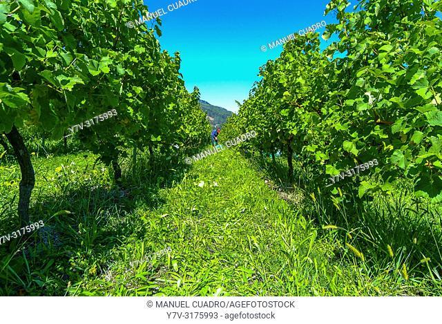 Vineyards, Bodega Gorrondona, Bakio, Biscay, Basque Country, Spain