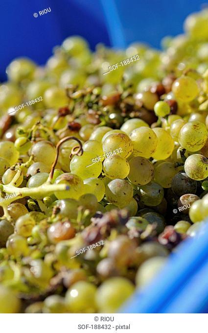 Heap of grapes