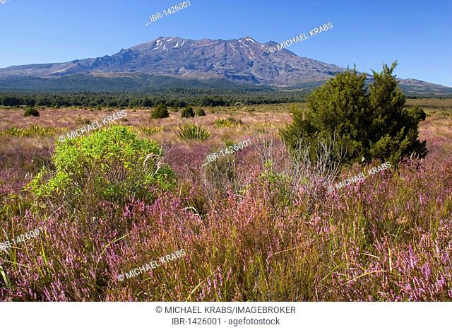 Mount Ruapehu volcano rises out of the blooming, heather-covered plain, Tongariro National Park, North Island, New Zealand