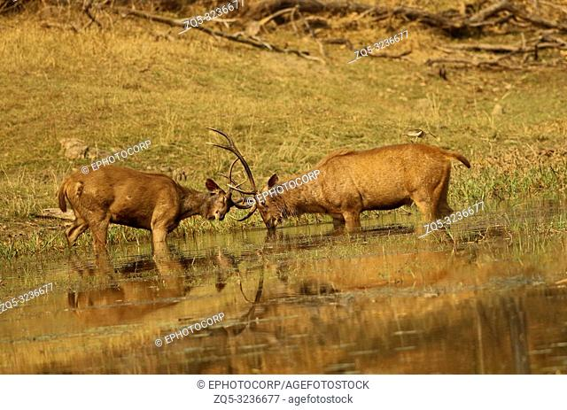 Sambhar stag in a mock fight, Rusa unicolor, Pench National park Madhyapradesh, India