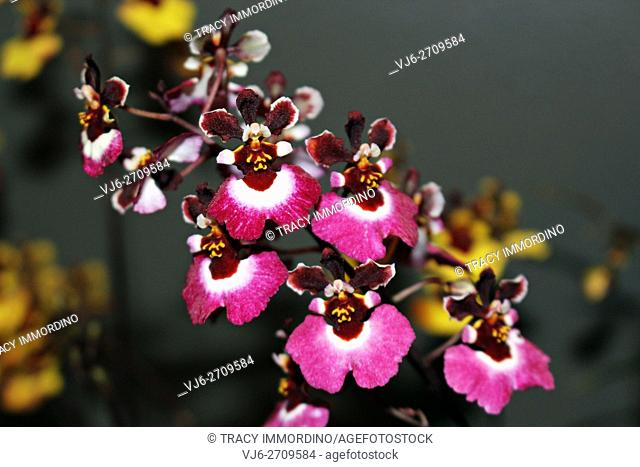 Close up of a cluster of flowering Oncidium Orchid (red/hot pink in color)