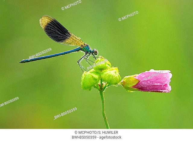 banded blackwings, banded agrion, banded demoiselle (Calopteryx splendens, Agrion splendens), on malva
