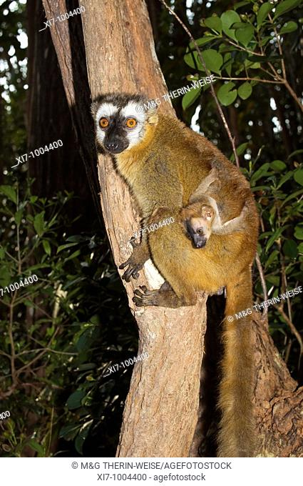 Red-Fronted Brown Lemur Eulemur rufus and infant, Perinet Nature Reserve, Madagascar Lémurien brun rouge-affronté Eulemur fulvus avec son petit