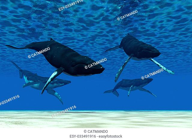 A group of Humpback whales swim in ocean shallows