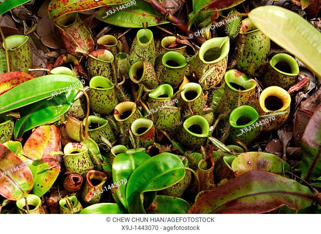 Pitcher Plant, Nepenthes Ampullaria, Borneo