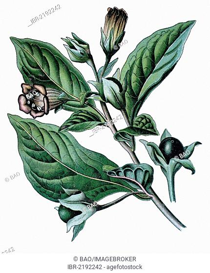 Belladonna, Devil's Berries, Death Cherries or Deadly Nightshade (Atropa belladonna), medicinal plant, historical chromolithography, about 1870