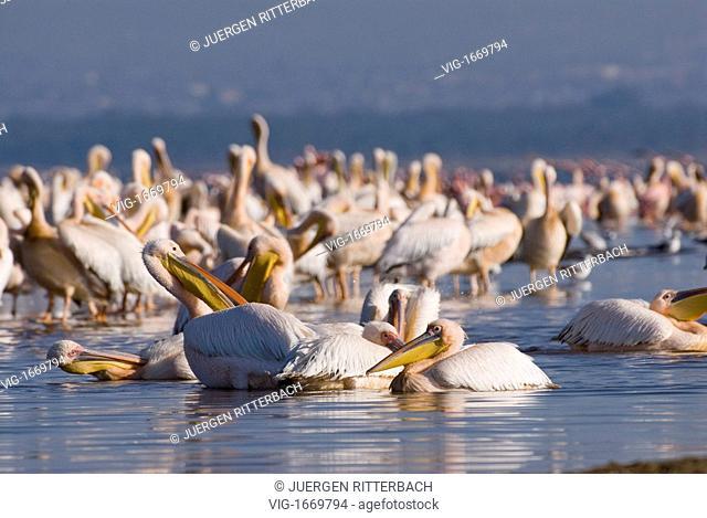 great white Pelicanus, PELECANUS ONOCROTALUS,NAKURU NATIONAL PARK, KENYA, EAST Africa - NAKURU NATIONAL PARK, KENYA, 24/09/2008