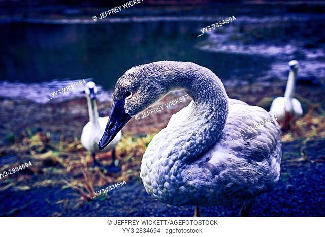One of several trumpeter swans, Cygnus buccinato, wintering in Starrigavan Recreation Area near Sitka, Alaska, USA