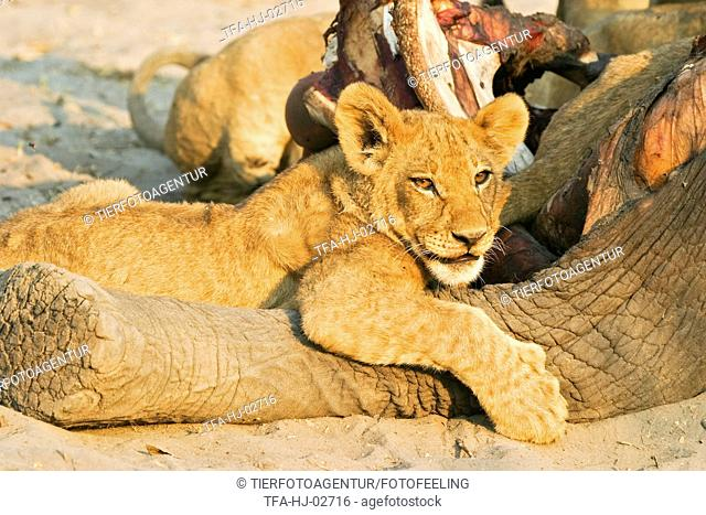 young lion with prey