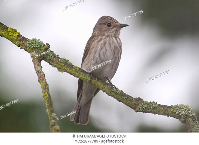 A Spotted Flycatcher (Muscicapa striata) in the uk