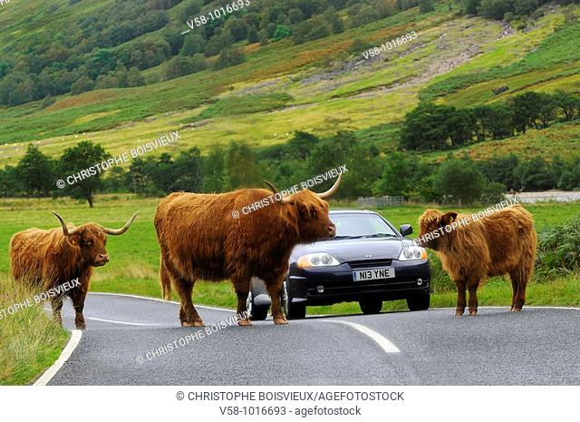 Highland cows. Glen Nevis road. Fort William region. Scotland. Highland cow