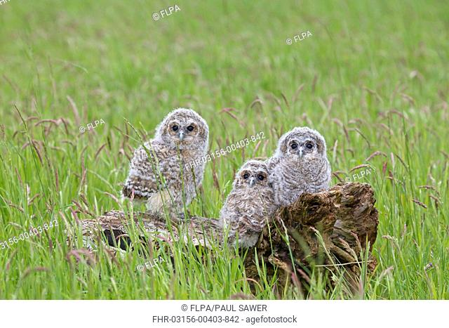 Tawny Owl Strix aluco three chicks, perched on fallen tree stump, England, june captive